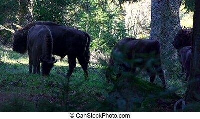 european bison in forest
