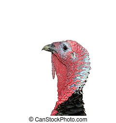 isolated male turkey head - male turkey head, colorful...