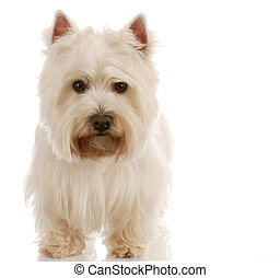 west highland white terrier standing with reflection on white background
