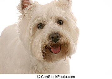 west highland white terrier on white background