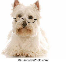 west highland white terrier wearing dark framed reading...