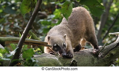 South American coati climbs down and elongates on the branch...