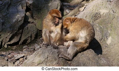 Barbary macaque looking for parasites in other macaques coat...