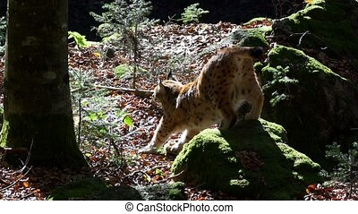lynx in autumn forest