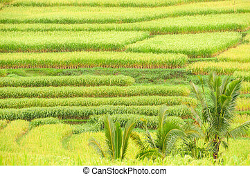 Rice terraces of Bali Island, Indonesia, detail