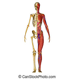 Human Anatomy - Human anatomy is primarily the scientific...