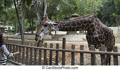 a giraffe bend down for vegetable feeding - Chiangmai,...