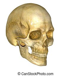 Skull - A collection of 22 bones, the skull protects the...