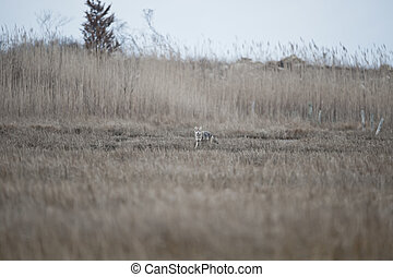 Foraging Coyote - Coyote scouts marsh for an early morning...