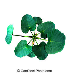 Colocasia - They are herbaceous perennial plants with a...
