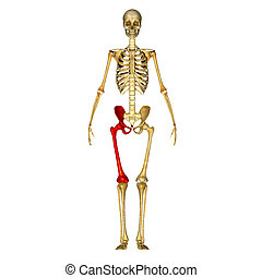 Femur - Digital illustration of Femur bone in colour...