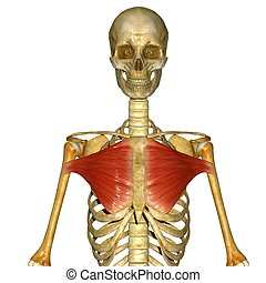 Chest muscles - The pectoralis major is a thick, fan-shaped...