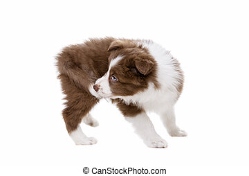 Border Collie puppy dog in front of a white background...