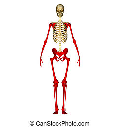 Skeleton hands and legs - A hand is a prehensile,...