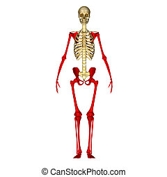 Skeleton hand and legs - The fibula is the long, thin and...