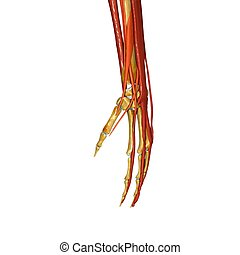 Muscle hand - A hand is a prehensile, multi-fingered...