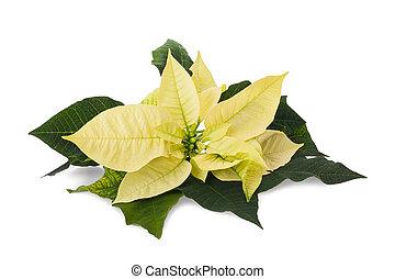 Poinsettia - yellow poinsettia flower (christmas star)...