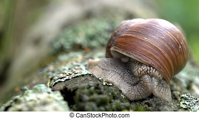 apple snail - Helix pomatia
