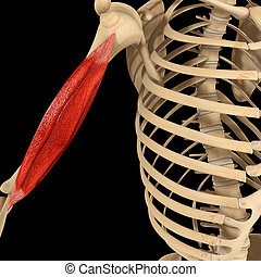 Humerus muscle - is a long bone in the arm or forelimb that...