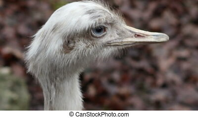 Ostrich Head - Close up shot of white ostrich head, with big...