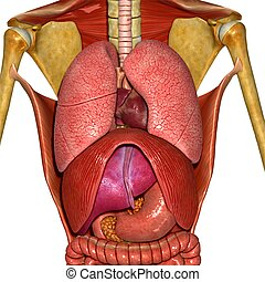 Human Anatomy - The human body is the entire structure of a...
