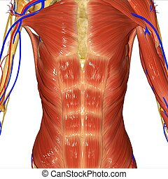 Muscular system - Muscle is a soft tissue found in most...