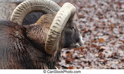 Mouflon Sheep - Close up shot of a mouflon sheep, on wet...