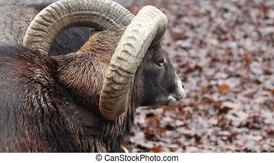 Mouflon Sheep - Close up shot of a mouflon sheep, on wet...