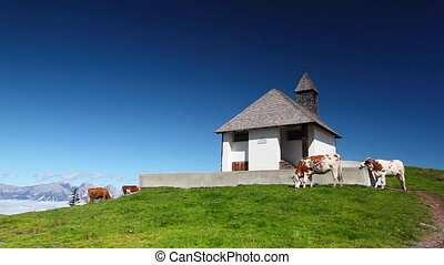 White and brown cows on the mountain pastures near the...