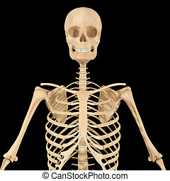 Skeleton - The human skeleton is the internal framework of...