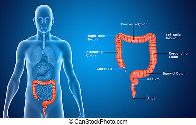 Large Intestine - The human gastrointestinal tract (GI...