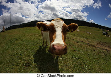 Mountain cow photographed with fish eye lens and blue sky...