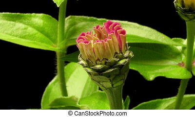 Pink Zinnia Time-lapse - Time-lapse of a pink Zinnia flower...