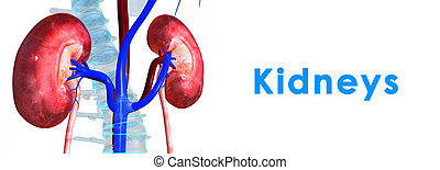 Kidneys - the kidneys are located in the abdominal cavity,...
