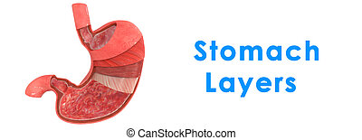 Stomach Layers - The stomach is a muscular, hollow, dilated...