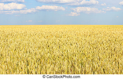 Wheatfield - Endless wheat field, receding into the distance...