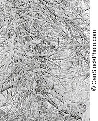 Snowy branches - White snow on the branches