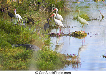 Everglade birds in the pond - Flock of white and blue...