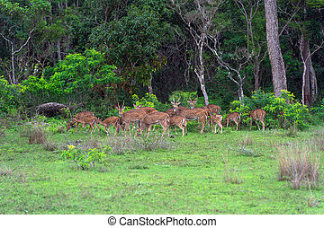 Spotted deer in the wild on the island of Sri Lanka