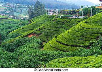 Sri Lanka - Beautiful highland tea plantations in Sri Lanka