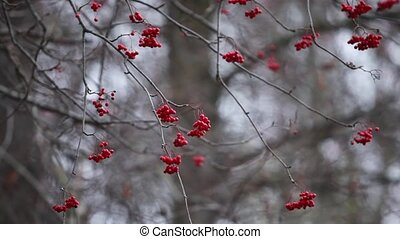 Red rowan in winter zoom out - red rowan berry natural...