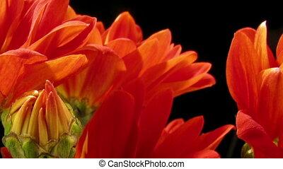 Orange Daisy Time-lapse - Time-lapse of orange daisy flowers...