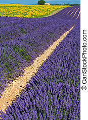 Provence - Lavender fields in Provence