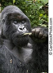 gorilla - rwanda, africa