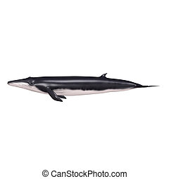 Balaenoptera, from the Latin balaena (whale) and pteron...