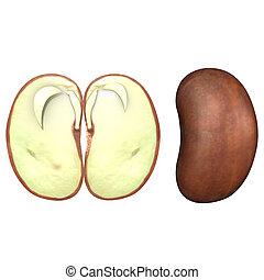 Bean Cotyledons - A cotyledon is a significant part of the...