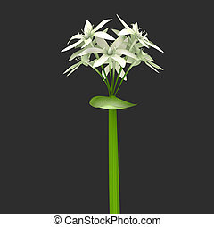 Allium Sativum - Allium sativum, commonly known as garlic,...