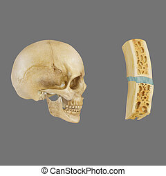 Skull parts - The human skull is a bony structure, the head...