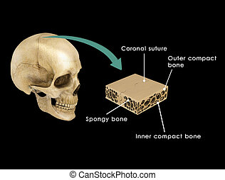 Skull interect - The human skull is a bony structure, the...
