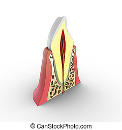 Tooth structure - A tooth (plural teeth) is a small,...
